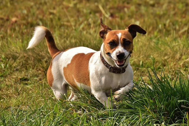 Jack Russell Terrier Training