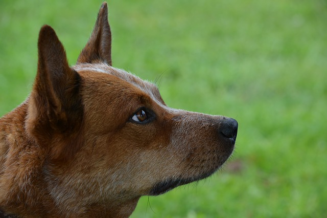 Australian Cattle Dog Training